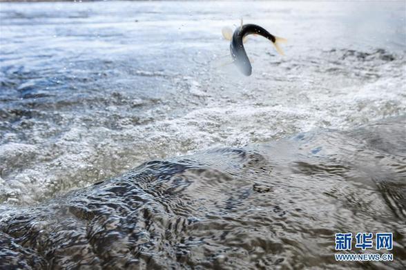 (图文互动)(1)青海一条鱼:从濒临灭绝到鱼翔浅底